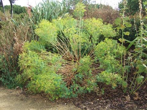 Euphorbia ceratocarpa ? [id. non terminée] Dscf6731