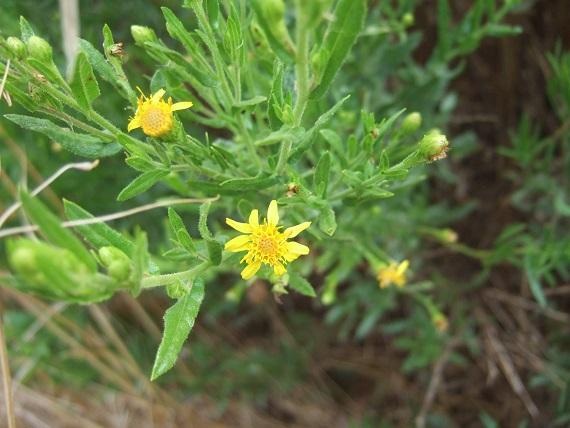 Dittrichia viscosa - inule visqueuse Dscf6923