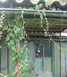 Anredera cordifolia = Boussingaultia baselloides - boussingaultie Dscf7120