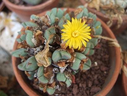 petites Aizoaceae - floraisons d'octobre-novembre Dscf7133