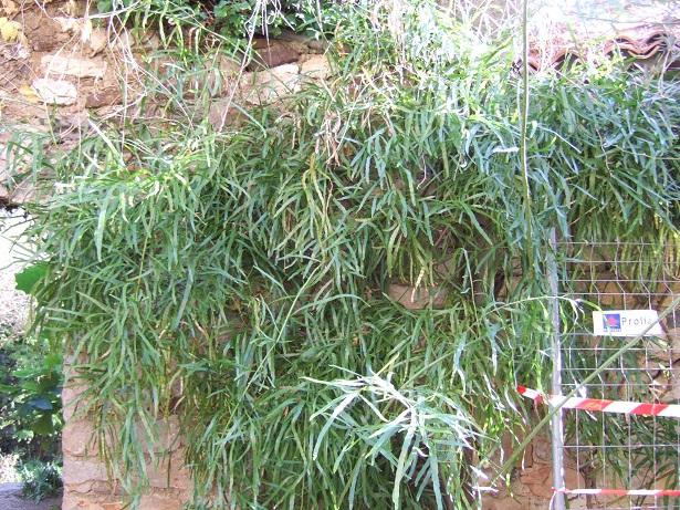Homalocladium platycladum Dscf7411