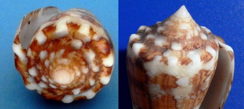 Conus (Cylinder) pseudocedonulli   Blainville, 1818 - Page 2 Ammira10