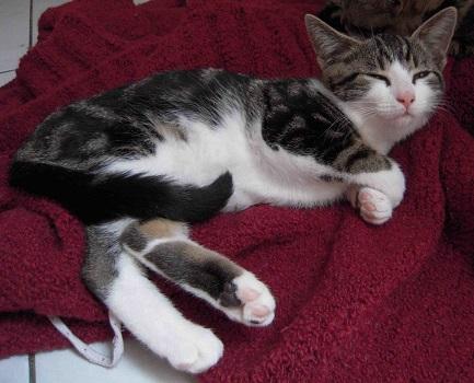 Colombine, jolie chatonne tigrée et blanche, née début juin 2013 - ADOPTEE par sa FA C510