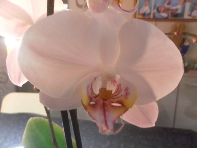 les orchidées de syljou - Page 2 Sam_8439