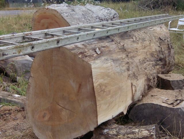 Débit d'un tronc de platane à la tronçonneuse 04tron10