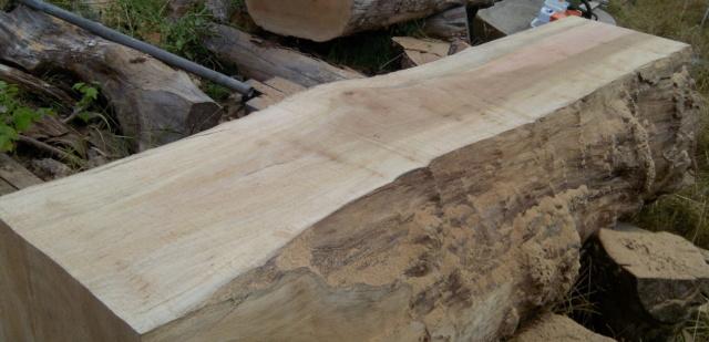 Débit d'un tronc de platane à la tronçonneuse 05tron10