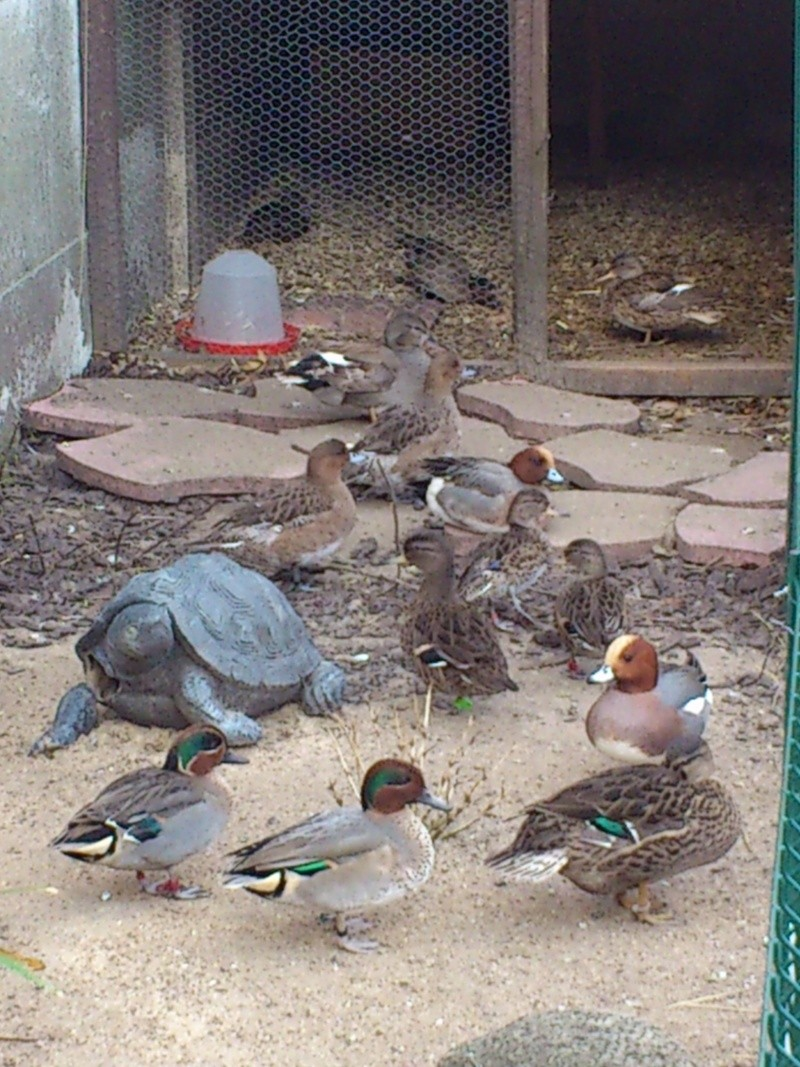 Les canards de mon homme  Dsc_0535
