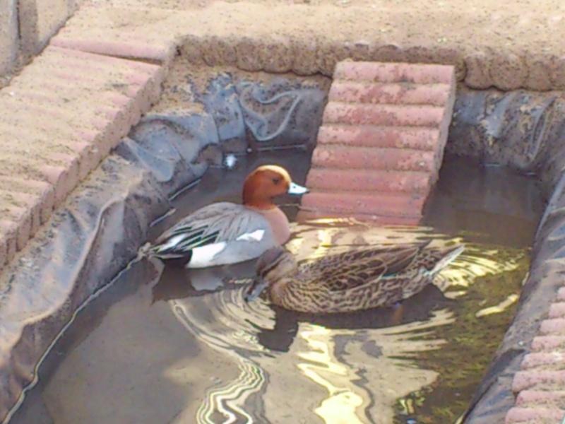 Les canards de mon homme  Dsc_0536