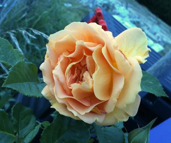 Photos de nos jardins Ronsar10