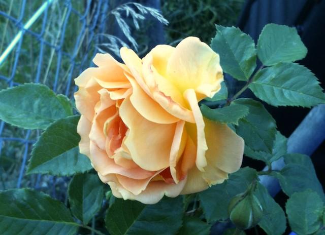 Photos de nos jardins Ronsar11