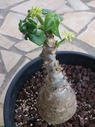 Jatropha podagrica 'Flava' Jatfla16
