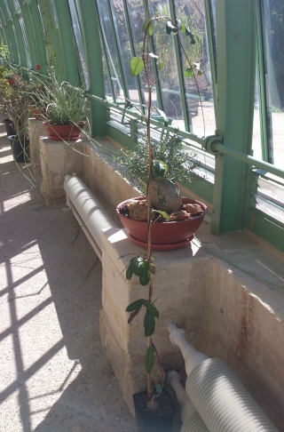 (34) La serre Martins - Jardin des plantes de Montpellier - Page 2 Serre147