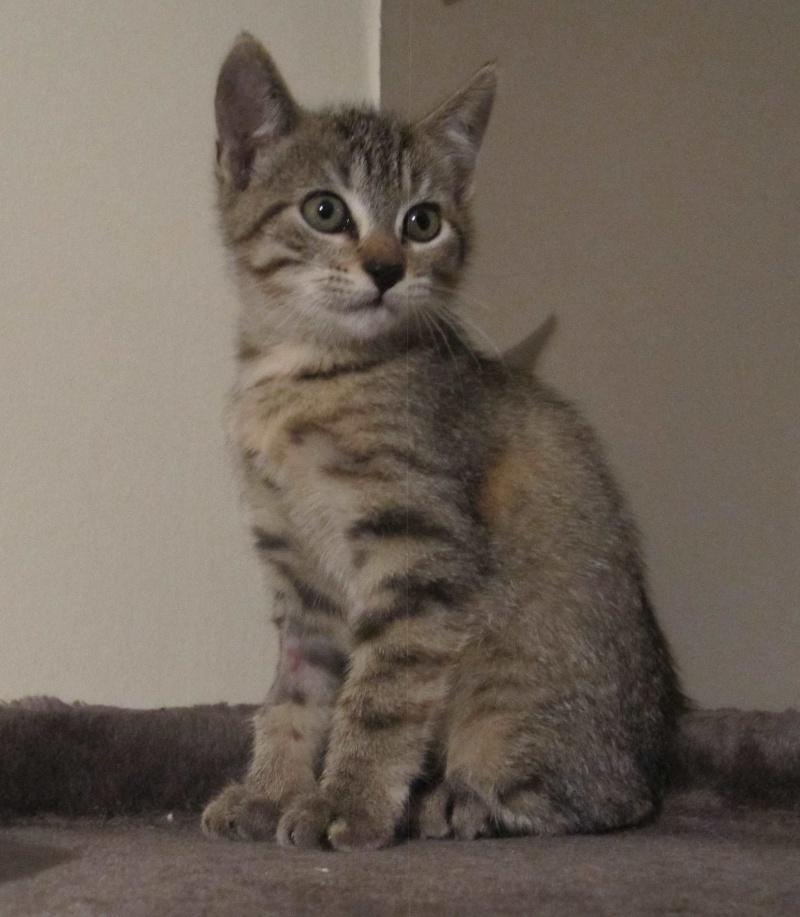 Josy, femelle de type européen, tigrée grise née le 04/08/2014 Img_0616
