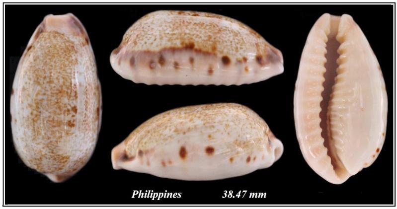 Erronea caurica - (Linnaeus, 1758) Cyprae11