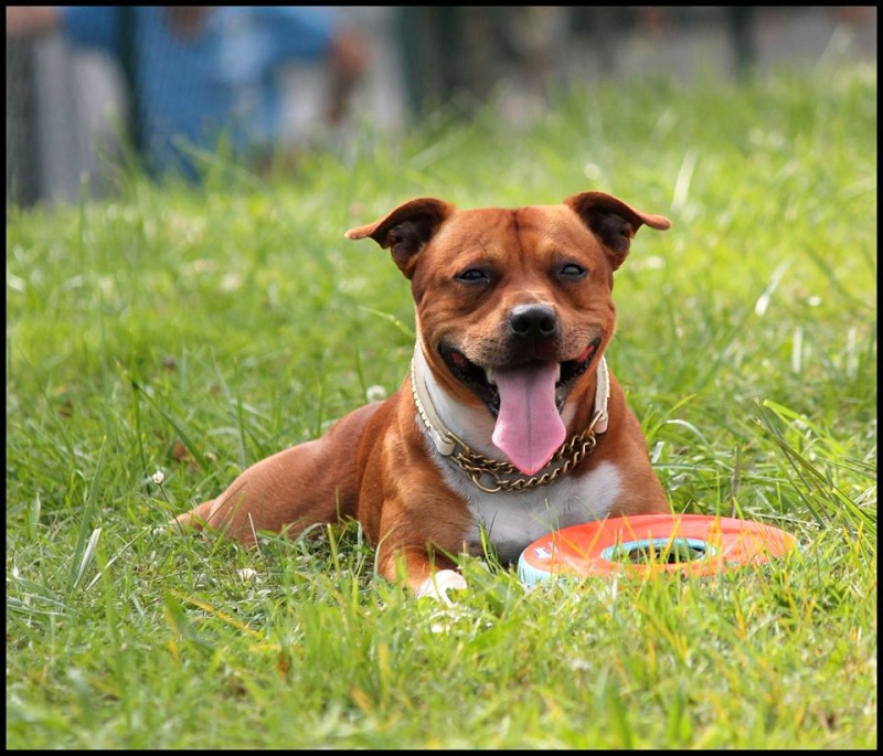 Le Staffordshire Bull Terrier : le staffie - Page 4 10517410
