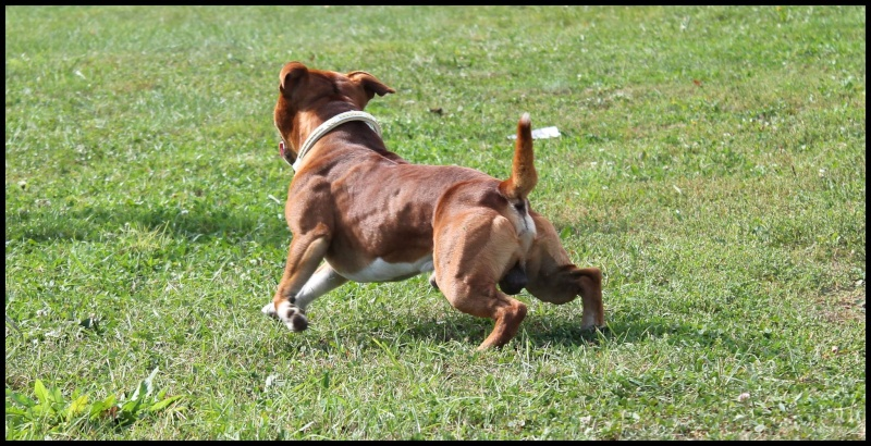 Le Staffordshire Bull Terrier : le staffie - Page 4 10669310