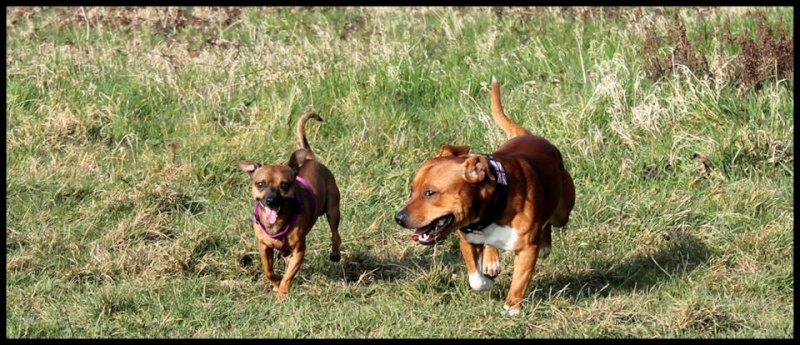 Le Staffordshire Bull Terrier : le staffie - Page 4 16204510