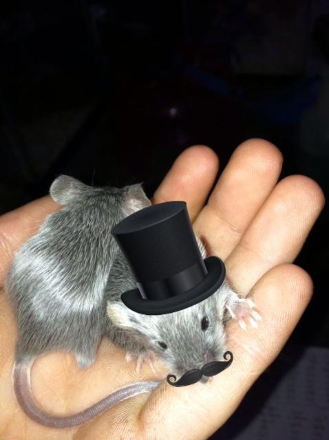 longhair mice have greasy fur Greasy10