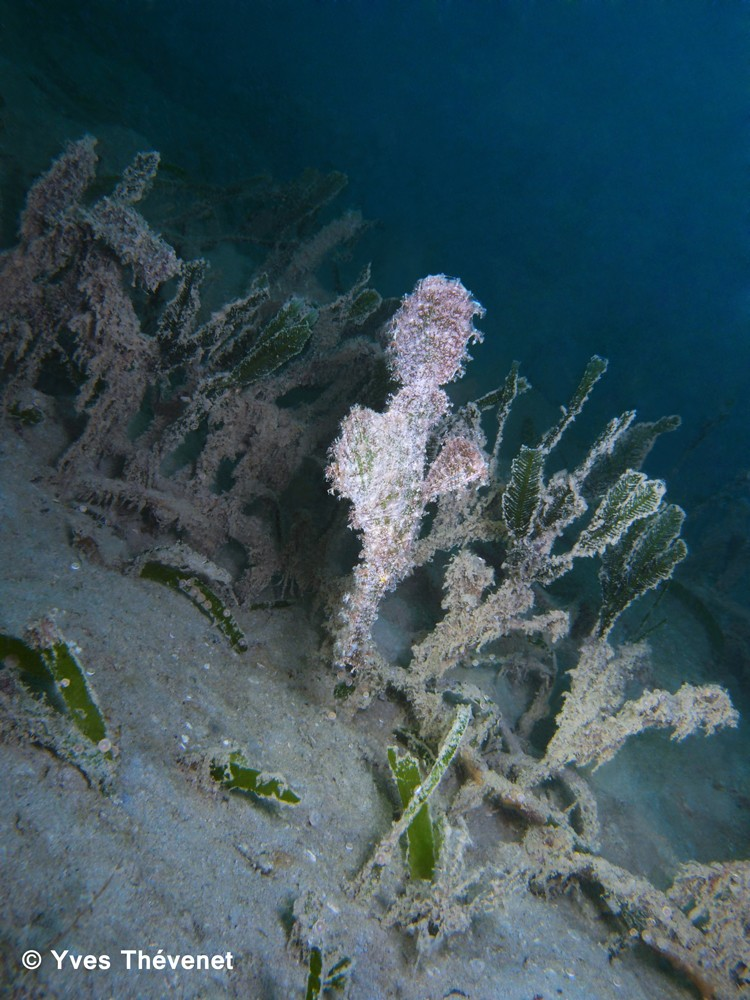 Solenostomus paegnius, poisson-fantôme. Bdc-2013