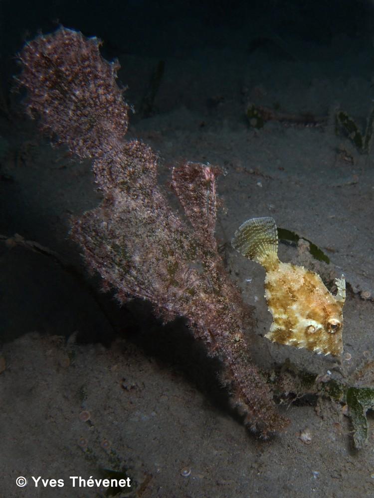 Solenostomus paegnius, poisson-fantôme. Bdc-2014