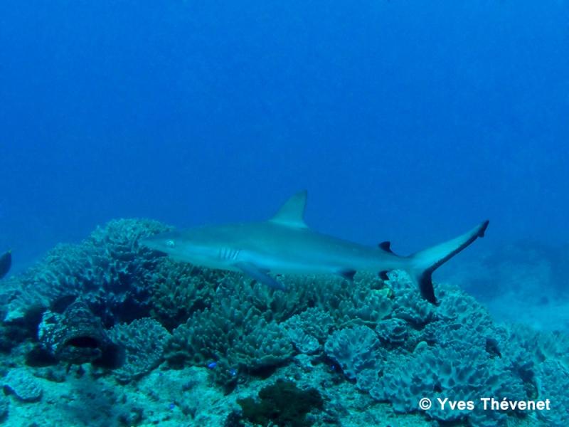 Carcharhinus amblyrhynchos, requin gris de récif Boular12