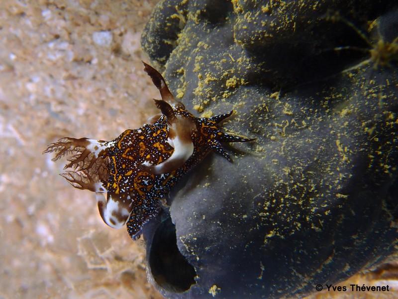 Trapania miltabrancha. Nudibranche. Ouamo-48