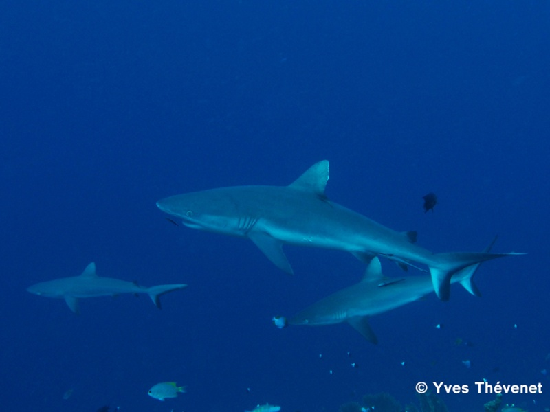 Carcharhinus amblyrhynchos, Requin gris de récif. Tania-10