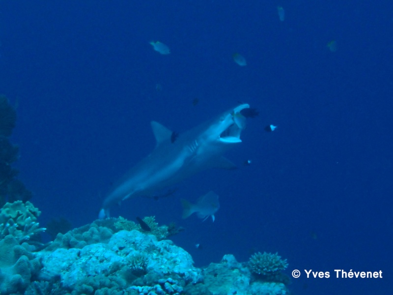 Carcharhinus amblyrhynchos, Requin gris de récif. Tania-11