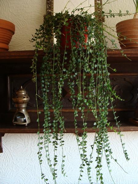 Dischidia ruscifolia Dischi10