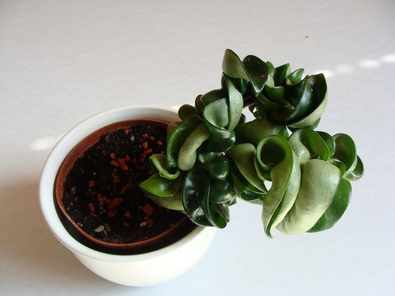 Hoya compacta wächst nicht Hoya_c11