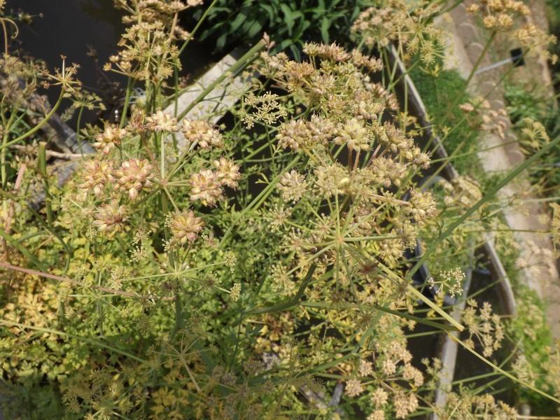 Les trésors oubliés des jardins des plantes Oenant10