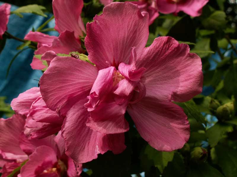 Hibiscus - alle Arten, Zuchtformen ... Erfahrungsberichte, Aussaat und selbstverständlich Bilder :) - Seite 2 Pict0010