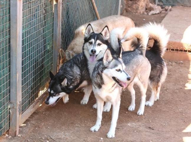 Husky Notfälle auf Mallorca P2f_im10