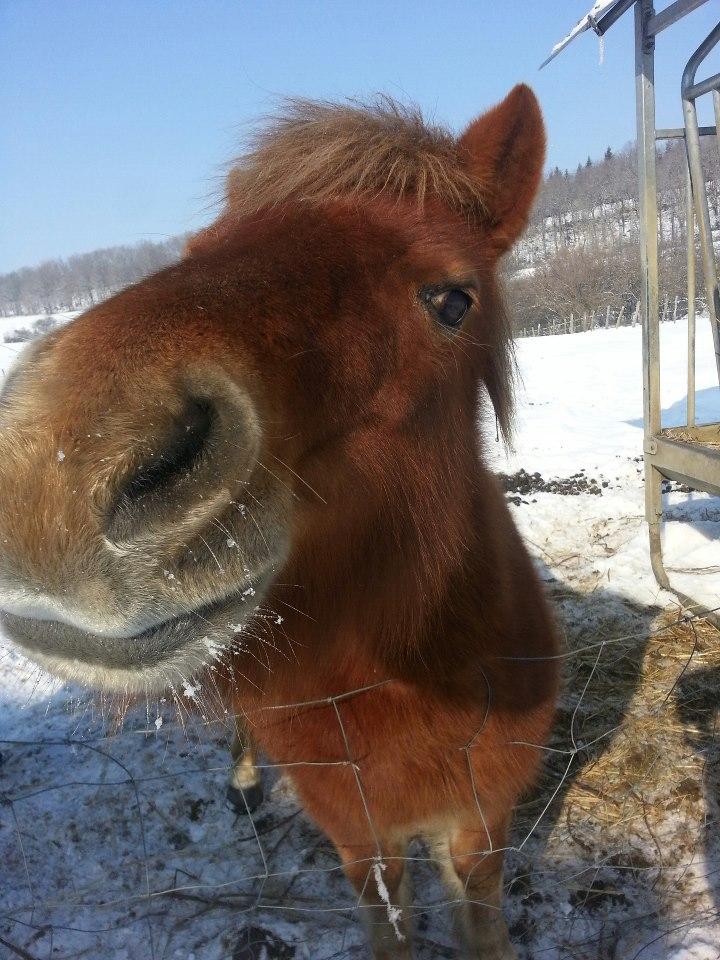 NOISETTE - ONC poney typée shetland née en 2000 - adoptée en juillet 2013 par Patrick  37445510