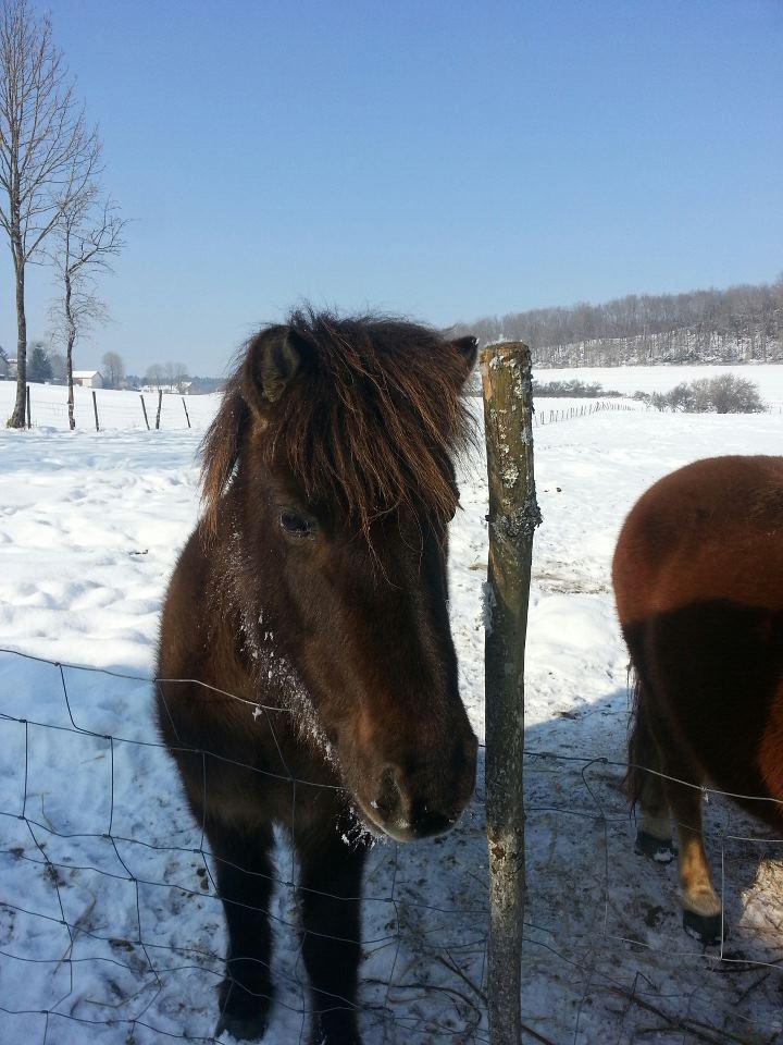 REGLISSE - ONC poney typée Shetland née en 2000 - adoptée en novembre 2013 par Solenn 73455810