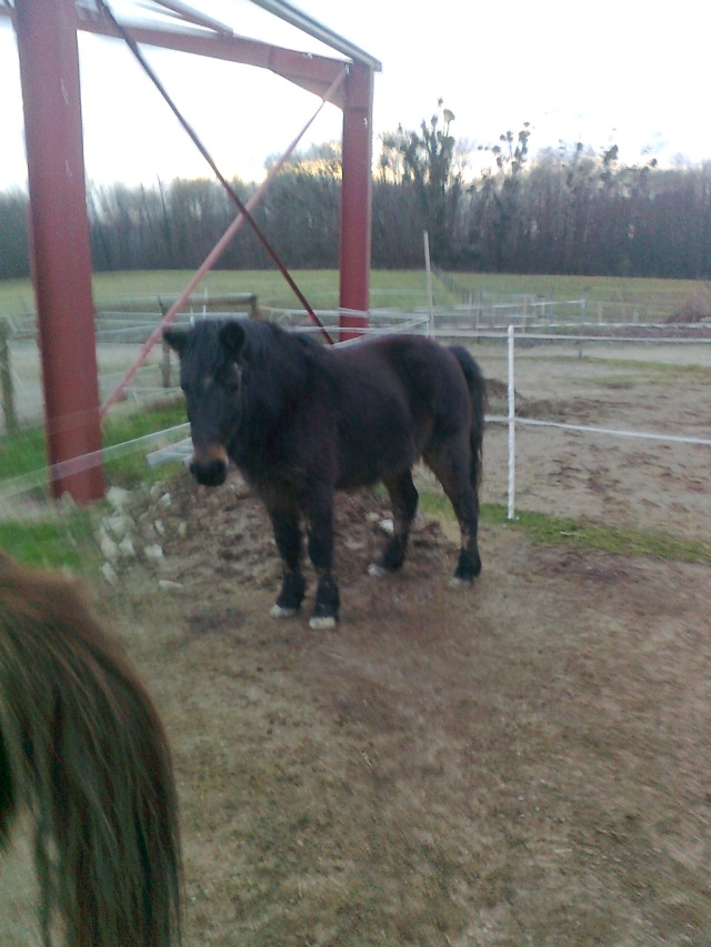PRUNELLE - ONC poney typée shetland présumée née en 2000 - adoptée en août 2013 par Céline Photo010