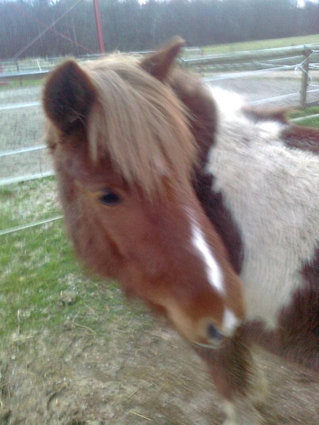 INDIANA - ONC poney typée shetland présumée née en 2000 - adoptée en juillet 2013 Photo012