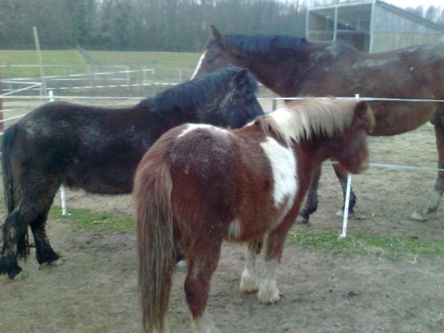 INDIANA - ONC poney typée shetland présumée née en 2000 - adoptée en juillet 2013 Photo013