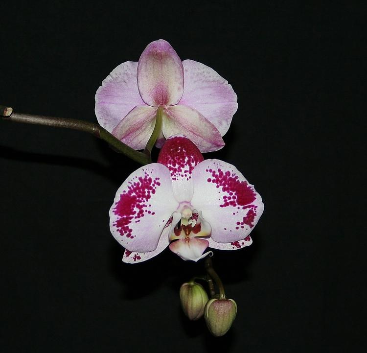 Phalaenopsis Hybride Phalx110