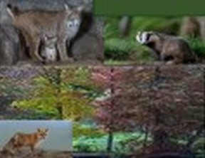 le blaireau, le lynx et le renard  2018-137