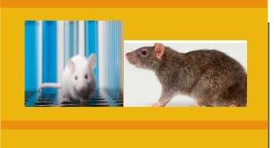 Un rat et une souris blanche  2020-070