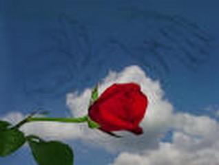 Ô ma rose Rose0110