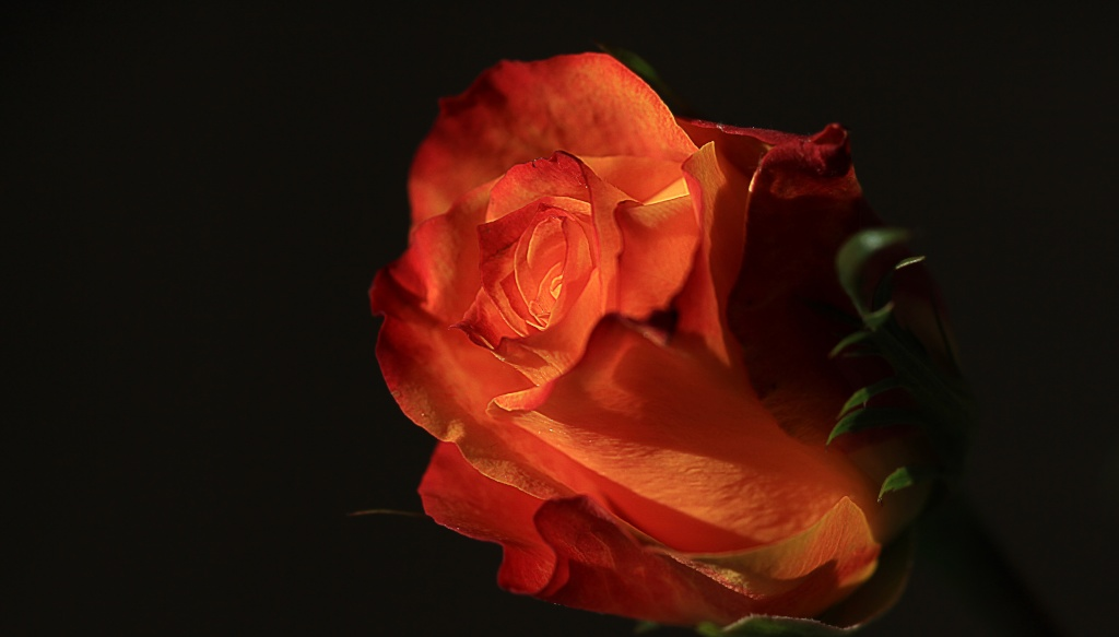 Rose de lumière Rose_d10