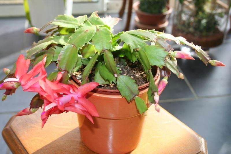 cactus de noel de mamie - Page 2 Img_0716