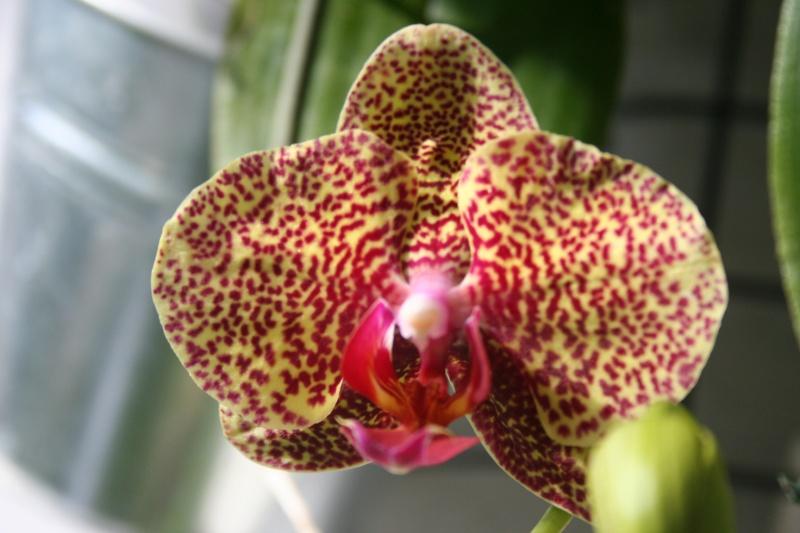 phalaenopsis dazzle - Page 3 Img_0810