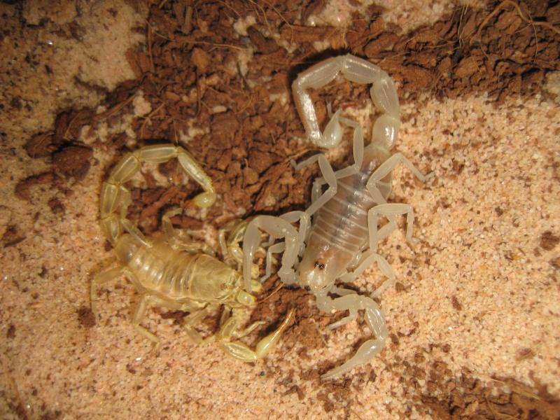 Androctonus Amoreuxi (Levyi) Scorpi10