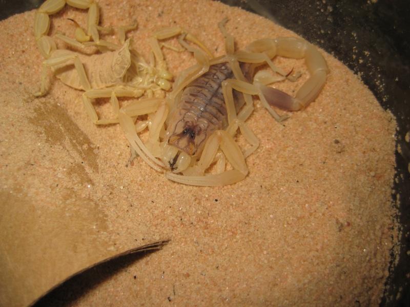 Leiurus Quinquestriatus Brood Scorpi11