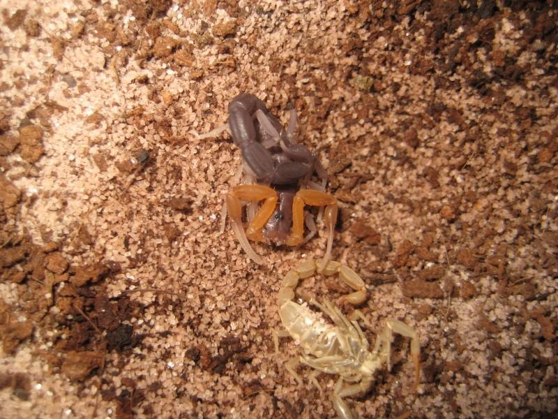 Grosphus Grandidieri Brood Scorpi12