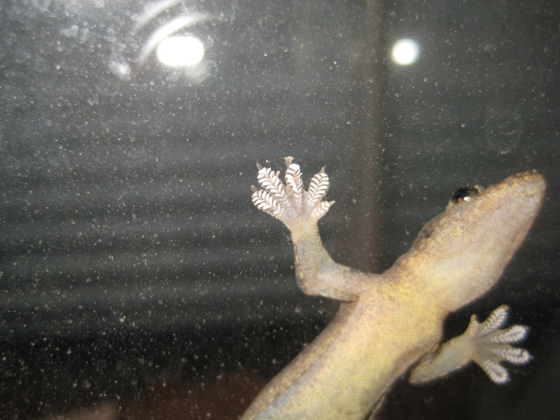 My House Gecko Scorpi18