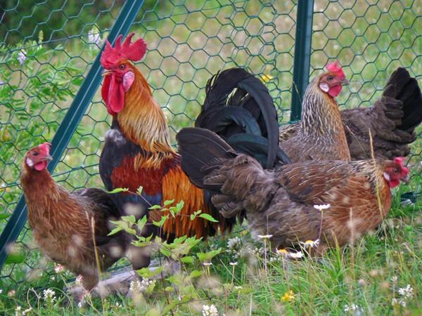 Les poules de grandes races et leurs variétés en photos Jolieg10